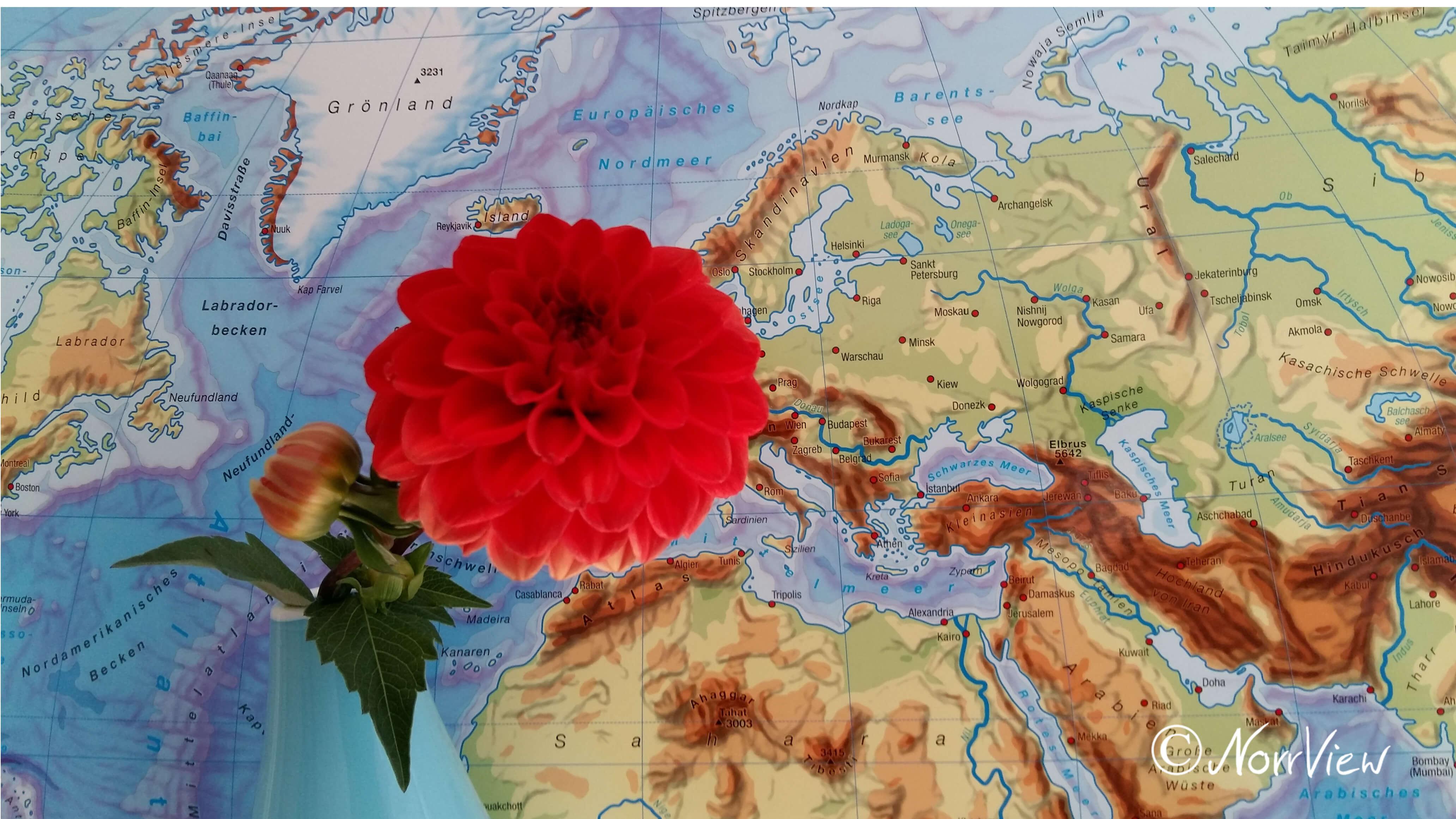 Rote Dahlie, voll erblüht, mit Knospe, vor einem Teil einer Weltkarte.